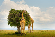 Two Giraffes In Masai Mara, Ke...