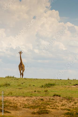 Giraffe in Masai Mara, Kenya Wall mural