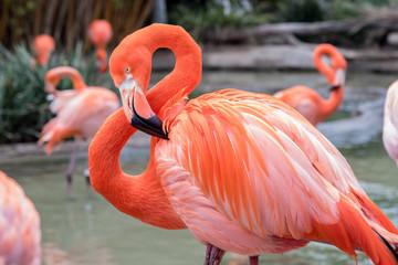 Flamingo s glavom i vratom zakrivljenim u sliku 8