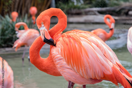 Flamingo with head and neck curved into a figure 8