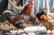 Rooster and hen in the yard in the village
