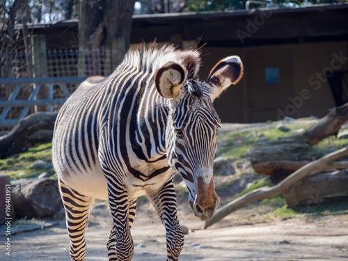 Photo Stands Zebra Cute zebra walking around