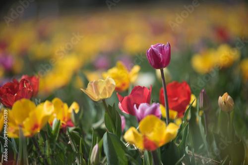 Fototapety, obrazy: Beautiful spring tulips. Blurred background.