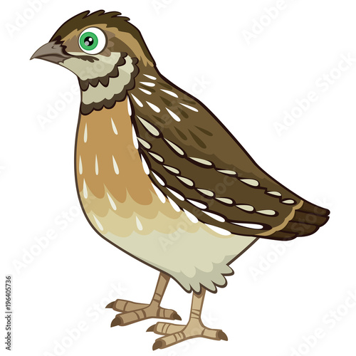 Fotografiet Detailed Quail Cartoon Vector Illustration Isolated on White