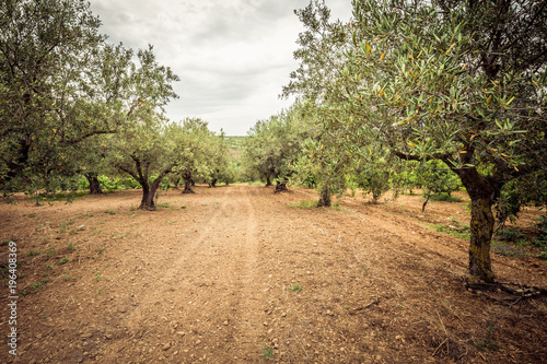 Tuinposter Olijfboom Olive grove and dirt path. Rows of olive trees, agriculture