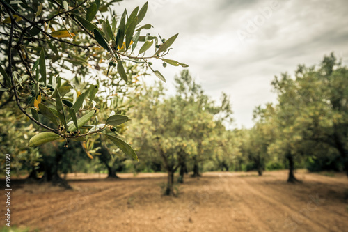 Foto op Aluminium Olijfboom Close-up of an olive branch with green olive. Olive grove and cloudy sky in the background
