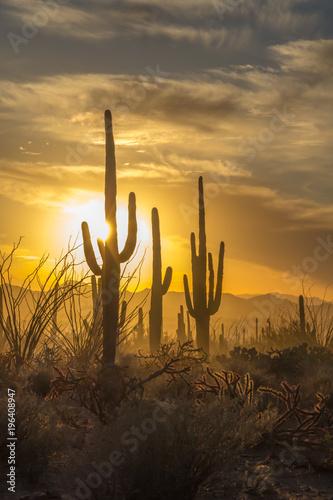Papiers peints Cactus Saguaro Cactus silhouettes against golden sunset skies, Tucson, AZ