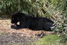Black Panther Feeding