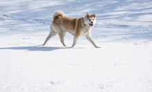 Nice Akita Dog In Snow