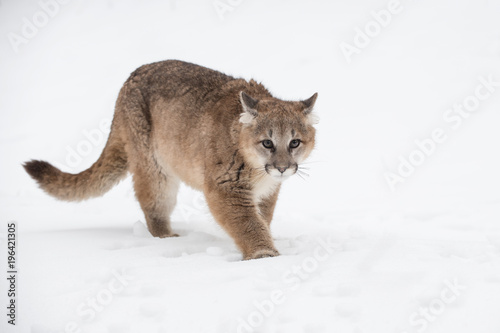Fotobehang Puma Female Cougar (Puma concolor) Walks Forward