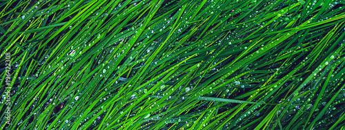 Fototapeta banner erba verde con rugiada obraz