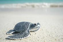 Little Sea Turtle On The Sandy...