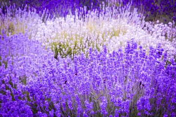 Obraz na Szkle Lawenda Lavender fields in England, UK
