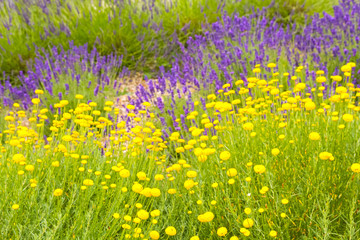 Fototapeta Lawenda Lavender flowers mixed with yellow flower blossom