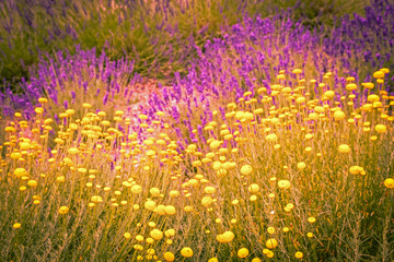 Panel Szklany Lawenda Lavender flowers mixed with yellow flower blossom