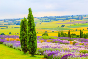 Fototapeta Lawenda Lavender fields in England, UK
