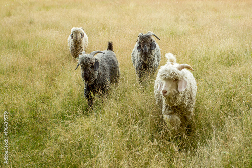 Photo Goats walking in tall grass on a summer day.