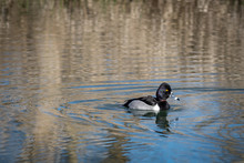 Ring-necked Duck Swimming At Steigwald National Wildlife Refuge.