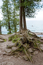 Exposed Roots On Lake Michigan