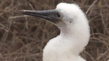 Close Up Of The Face Of A Baby Blue Footed Booby In The Galapagos Islands, Ecuador.