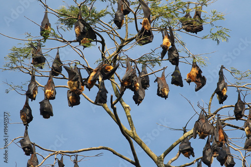 Colony of Indian flying fox bat, Pteropus, giganteus