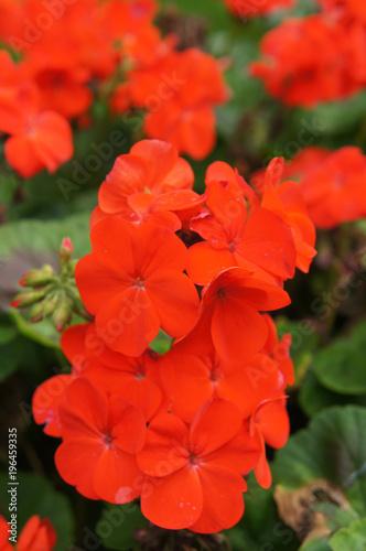 Red colored pelargonium  or geranium flowers with green