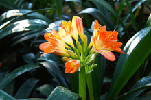 Clivia Miniata Orange Red Flow...