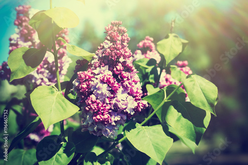 Foto op Canvas Lilac A branch of blossoming lilac in a spring garden