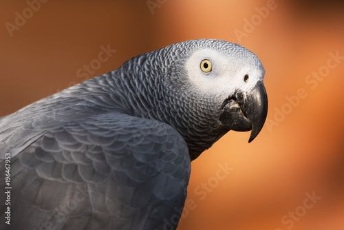 Foto op Canvas Papegaai African grey parrot close up