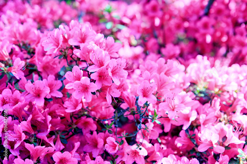 In de dag Roze Pink azalea background.