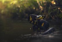 Mangrove Cat Snake (Boiga Dendrophila) In A River, Thailand