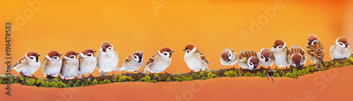 Spoed Foto op Canvas Vogel panoramic banner of a lot of funny little birds sparrows on a branch inthe garden on a Sunny day