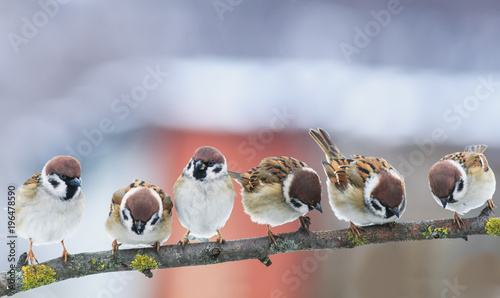 Photo  picture many funny little birds sparrows on a branch in the garden on a clear da