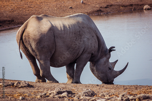 Foto op Aluminium Neushoorn A Black Rhino at a watering hole in Etosha National Park, Namibia