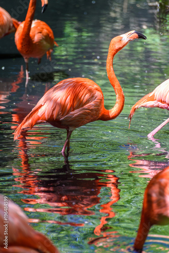 Fotobehang Flamingo Red flamingo from south America