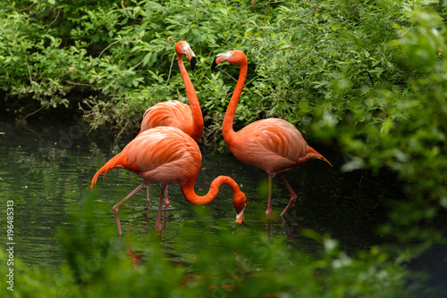 La pose en embrasure Flamingo Red flamingo from south America