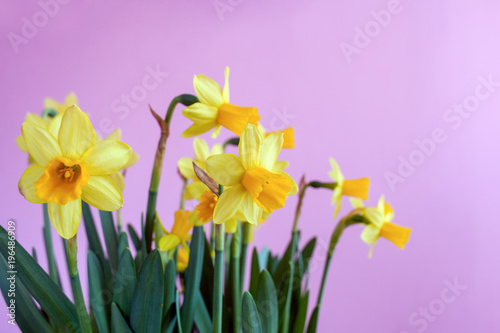 Deurstickers Narcis Spring Easter bouquet of yellow daffodils on bright pink background with copy space.