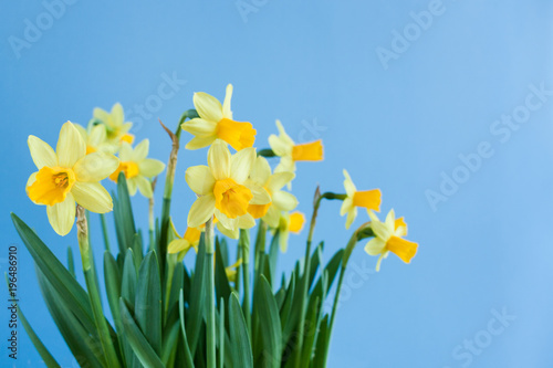 In de dag Narcis Spring Easter bouquet of yellow daffodils on blue background with copy space.