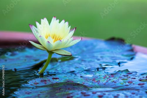 Deurstickers Lotusbloem lotus, waterlily