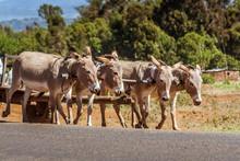 Kenyan Donkeys Pulling A Cart