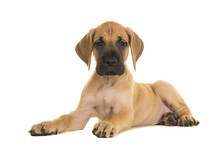 Pretty Yellow Great Dane Puppy...