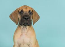 Portrait Of A Great Dane Puppy...