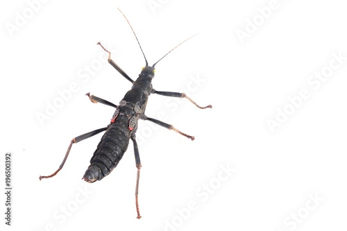 Photo  black stick insect Peruphasma schultei isolated