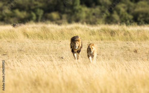 Lion couple in the Masai Mara