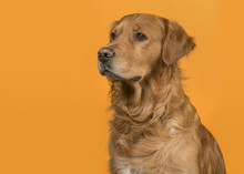 Portrait Of A Pretty Male Golden Retriever Dog Looking To The Left On An Orange Background