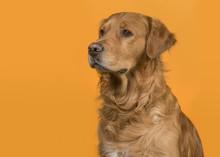 Portrait Of A Pretty Male Gold...