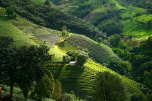 Tea Plantations In Doi Mae Sal...