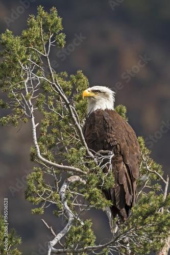 Keuken foto achterwand Uil Bald eagle on pine tree