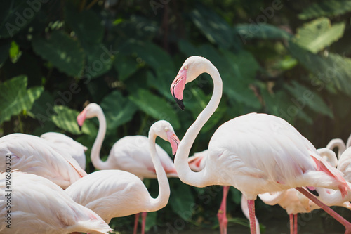 Staande foto Flamingo Pink big bird Greater Flamingo, Flamingo cleaning plumage.