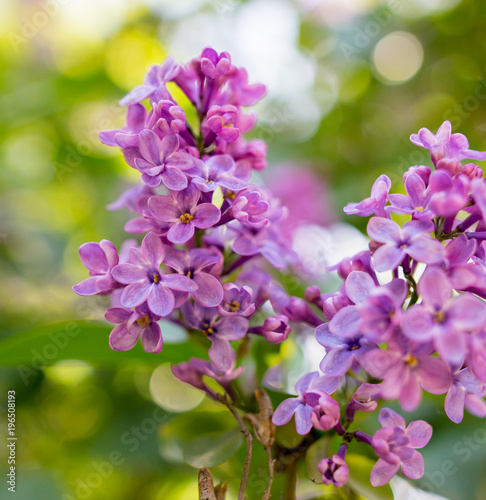 In de dag Lilac Lilac flowers on a tree in spring